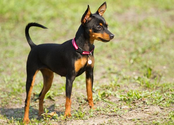 Nomes para cachorro   Pinscher